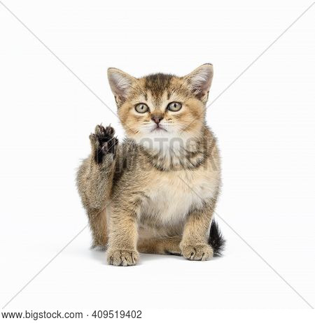 Kitten Golden Ticked Scottish Chinchilla Straight Sits On A White Background. Cat Looking At The Cam