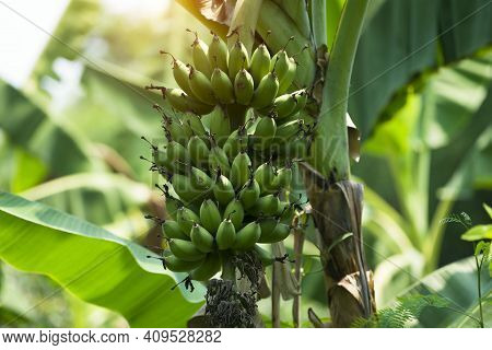 Bunch Of Green And Yellow Bananas In The Garden. Green Banana Fresh Bunch Fruits Growing On Tree In