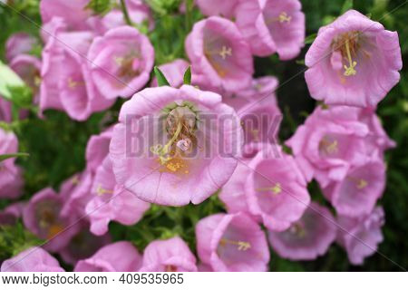 Campanula Champion Pink, Canterbury Bells, Or Bellflower In The Spring Or Summer Garden. Close-up Of
