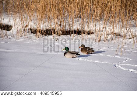 Couple Mallard Ducks Together In The Snow By The Reeds On The Island Oland In Sweden