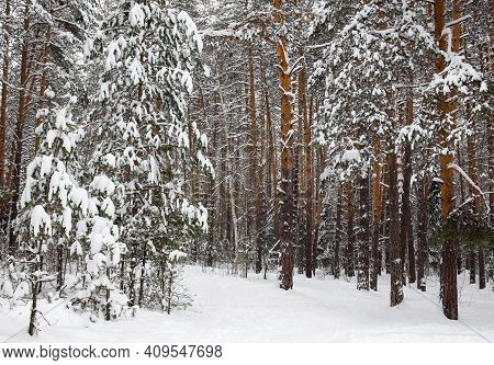 Pine Snowy Forest In Clear Weather In January
