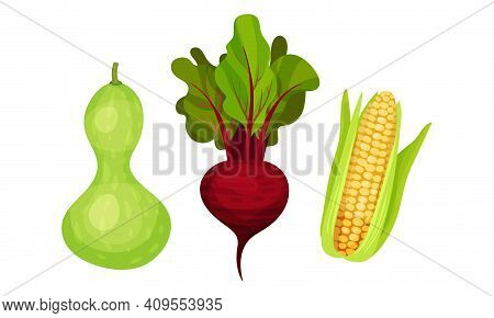 Ripe Vegetables As Healthy Raw Food With Beet And Corn Cob Vector Set