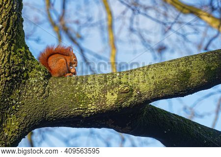 A Red Squirrel Eats On A Branch. Red Squirrels Occupy Boreal, Coniferous Woods. In Western And South