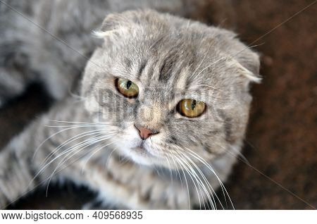 Cute Sad Home Cat Close-up. Feline Illness, Not A Playful Mood.