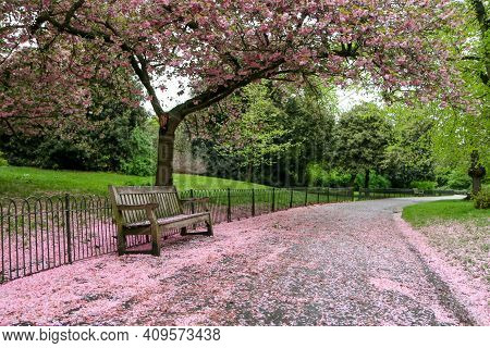 A Picture From The Park Where The Wooden Bench Stands Under The Cherry Tree With Pink Blooms. The Le