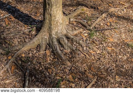 Base Of A Tree Trunk With Sprawling Out Roots For Stability Anchored Strongly To The Ground Surround