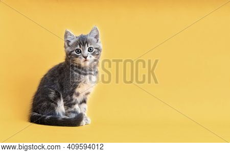 Small Tabby Kitten On Yellow Background With Copy Space. Gray Cat Isolated On Color Background With
