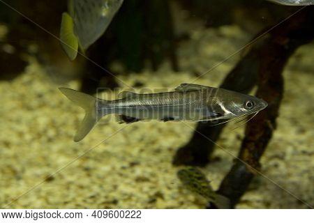 Long Whiskers Catfish (mystus Gulio) In Aquarium.