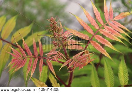 Red And Golden Leaves On A Sem Ash Spirea