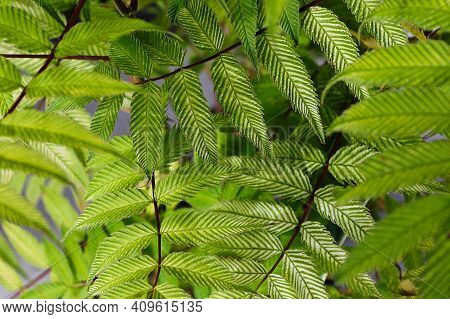 Macro Of Veins Strips On A Sem Ash Leaf Spirea