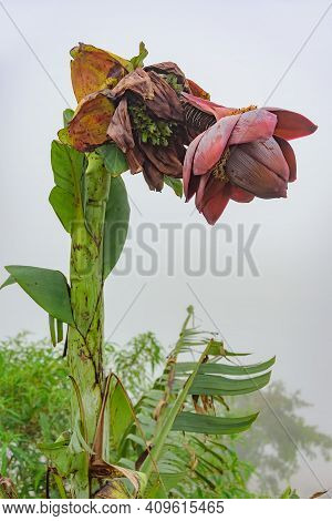 A Giant Banana Tree With A Giant Purple Flower Grows Tall In A Misty Background.