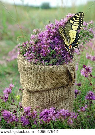 Thyme. Collected Thyme In A Pouch On A Flowering Field. Collecting Herbs. Colorful Swallowtail Butte