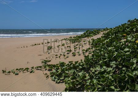 Dune Covered With Vegetation With Pier And Bluff In Background
