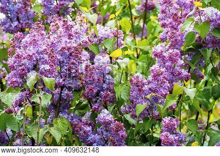 Purple Lilac Background. Soft Natural Texture. Romantic Invitation Card Concept