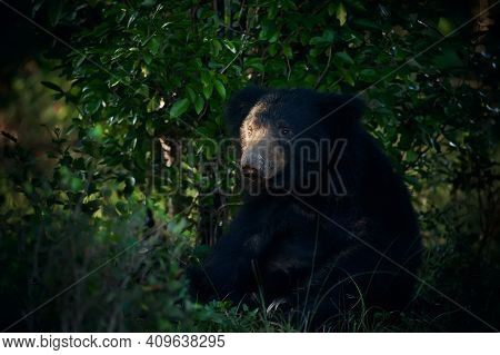Sitting  Sloth Bear (melursus Ursinus) In The Last Rays Of The Day. Dangerous Black Animal In Sri La