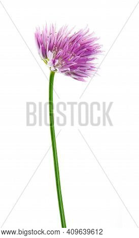 Blossoming Chives (allium Schoenoprasum Or Garlic Chives) Isolated On A White Background. Photo Of T