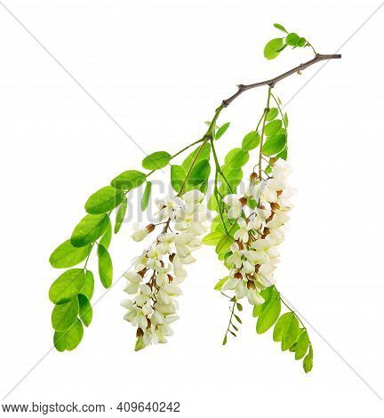 Robinia Pseudoacacia, Commonly Known In Its Native Territory As Black Locust. Branch Of White Acacia