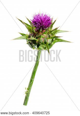 Medical Plants: Milk Thistle (silybum Marianum) Flower Isolated On White Background. Silybum Marianu