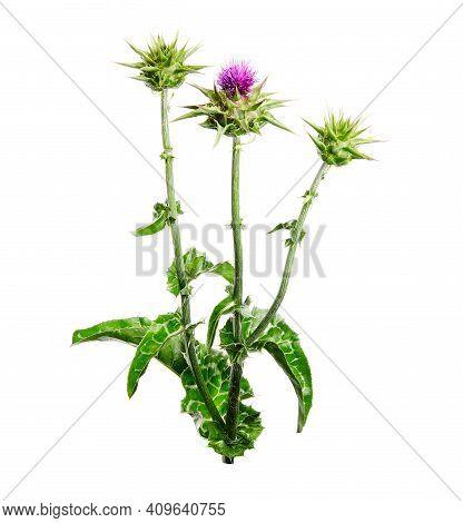 Medical Plants: Milk Thistle (silybum Marianum) Flower Isolated On White Background. Silybum Marianu
