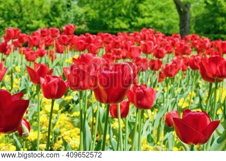 Beautiful Red Tulips In The Spring City Park