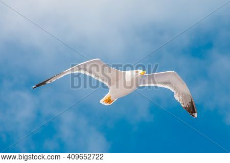 Seagull Flying In The Sky With Clouds. Elba Island, Italy. An European Herring Gull, Larus Argentatu