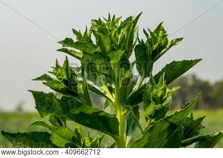 The Thorn Leaf And It Has So Many Common Names, Such As Milk Thistle, Mary Thistle, And Variegated T