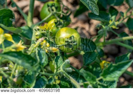 Tomato Plants Are Regular Leaf Varieties With Small, Serrated Leaves, While The Green Giant Tomato P