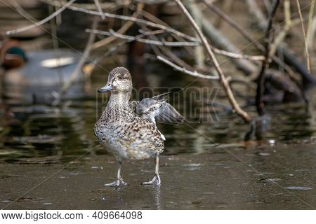Beautiful Female Teal Duck At A Little Pond Called Jacobiweiher Not Far Away From Frankfurt, Germany