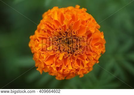 Single Flower Of Orange Marigold Flower Blossom On Green Garden Background Top View. New Life, Life