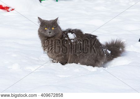 A Funny Domestic Dark Gray Cat Stands In A Snowdrift