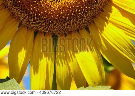 Sunflower Natural Background. Sunflower Blooming. Close-up Of Sunflower