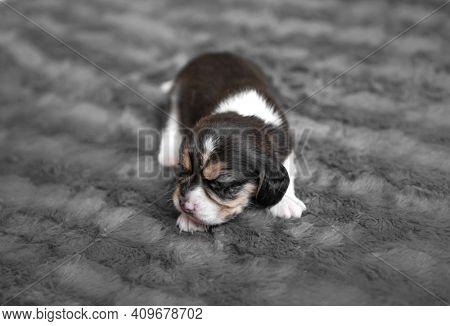 Cute newborn beagle puppy sleeping on grey veil, close-up