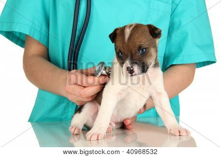 Beautiful little puppy on inspection by veterinarian isolated on white poster