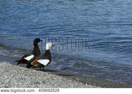 A Pair Of Paradise Shelduck, Tadorna Variegata, By The Water