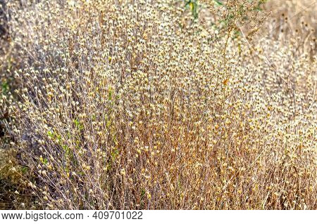 Dry Plants Pattern . Uncultivated Dry Grass In Summer