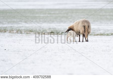 Sheep With Lamb In A Snowy Pasture. The Newborn Lamb Drinks Milk From The Mother. Winter On The Farm