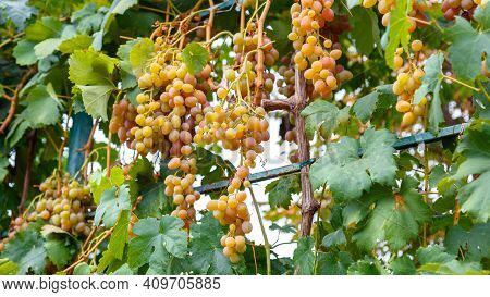 Green Grape With Leaves Harvest. Ripe Green Grape Fruit Harvest In Nature For Food And Vine In Autum