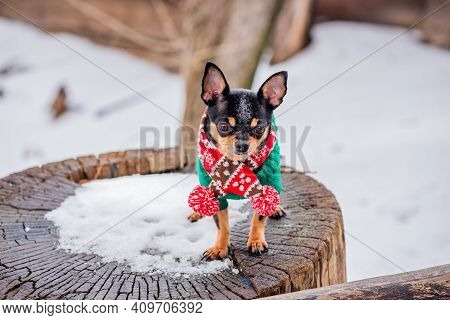 Cute Chihuahua Puppy With Scarf. Chihuahua Dog In A Scarf On The Background Of Nature In Winter. Pet