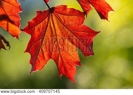Red Maple Foliage On A Blurred Green Background On A Sunny Day. Spring Season, May. Web Banner.