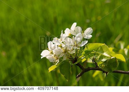 Branch With Blooming Pear Flowers On A Blurred Green Grass Background On A Sunny Day. Spring Season,