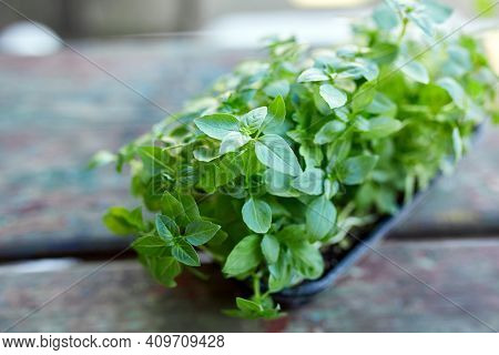 Close Up Of Basil Microgreens In The Box, Sprouting Microgreens