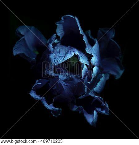 Tulip Flower With Water Drops Under Ultraviolet Light On A Dark Background. Uv, Fluorescent.