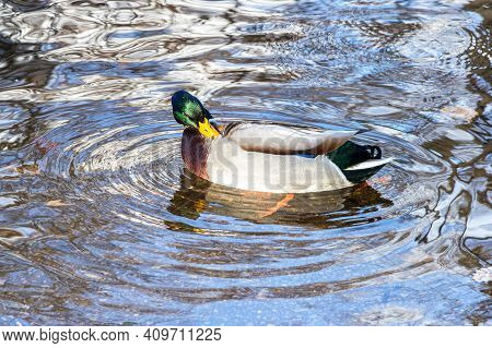 The Male Mallard Duck Swimming In A Pond In Sunny Day