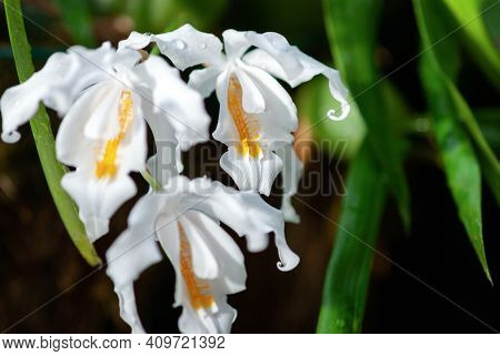 Coelogyne Cristata (crested Coelogyne) White Orchid Flowers, Eastern Himalayan Orchid Closeup