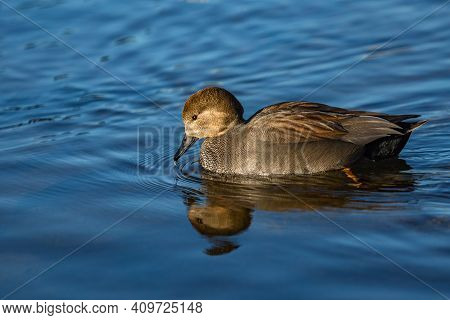 A Wild Gadwall Male, A Grey And Brown Dabbling Duck With Black Beak, Swimming In Blue River Drinking