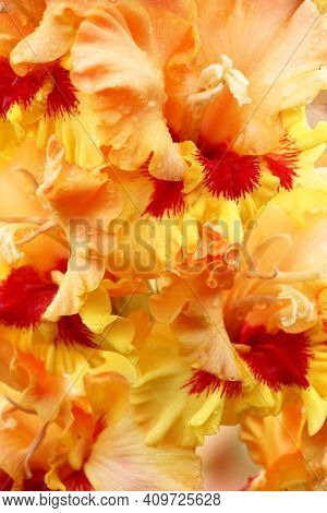 Bright Background In Tones Of Red And Yellow, Coral And Cream Colors Of Petals Of Flowers Of A Gladi