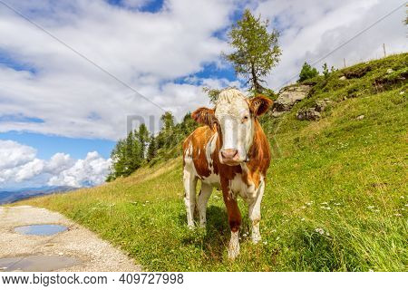Young Curious Bull On The Road In The Italian Alps. Trentino Alto Adige
