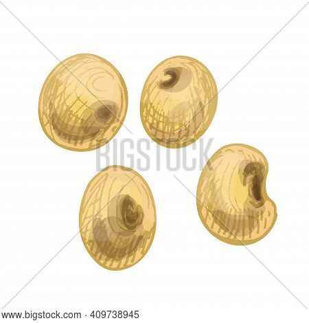 Ears With Grain Of Soybean. Vector Color Vintage Hand Drawn Hatching Illustration Isolated On A Whit
