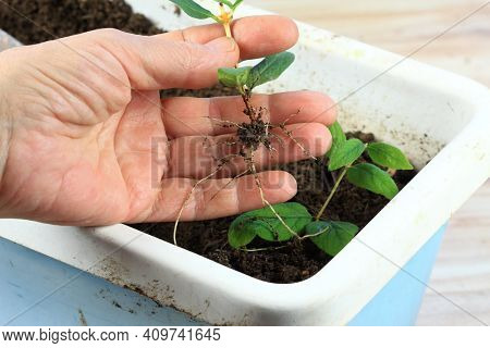 Vegetative Reproduction In Plants. New Plants With Roots Grown From Pieces Of A Twig. Woman Hand Hol
