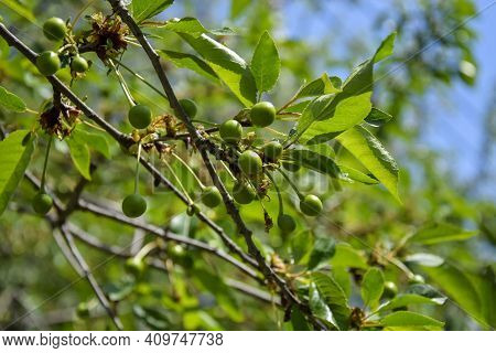 Branch With Small Unripe Cherry Fruits On Abstract Blurred Background Of Green Foliage. Selective Fo